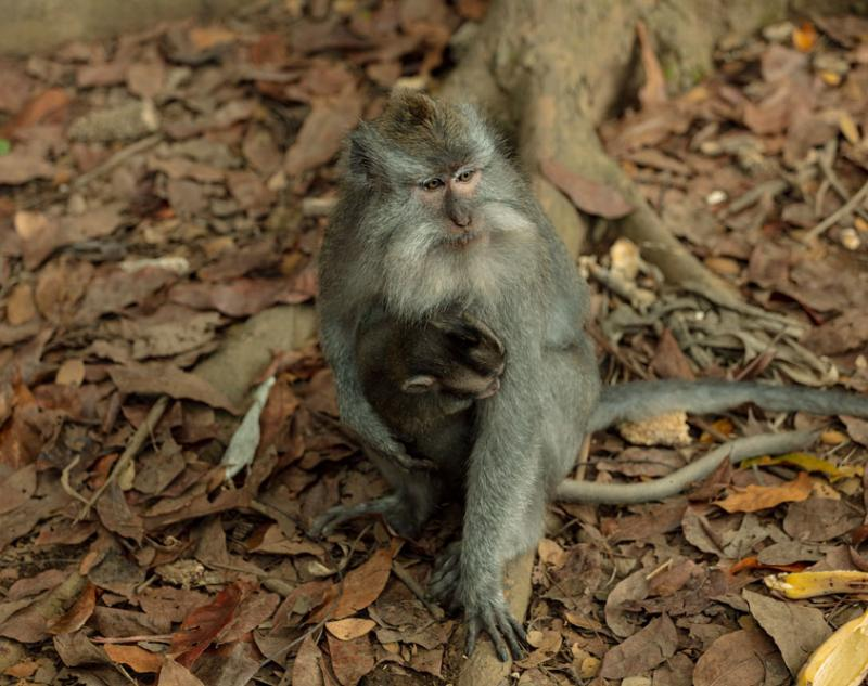 A Monkey in Ubud Forest