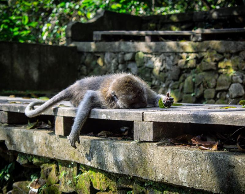 Funny Behavior of Monkey in Ubud
