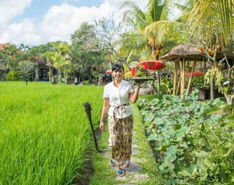 Green Rice Field View at Bebek Tepi Sawah