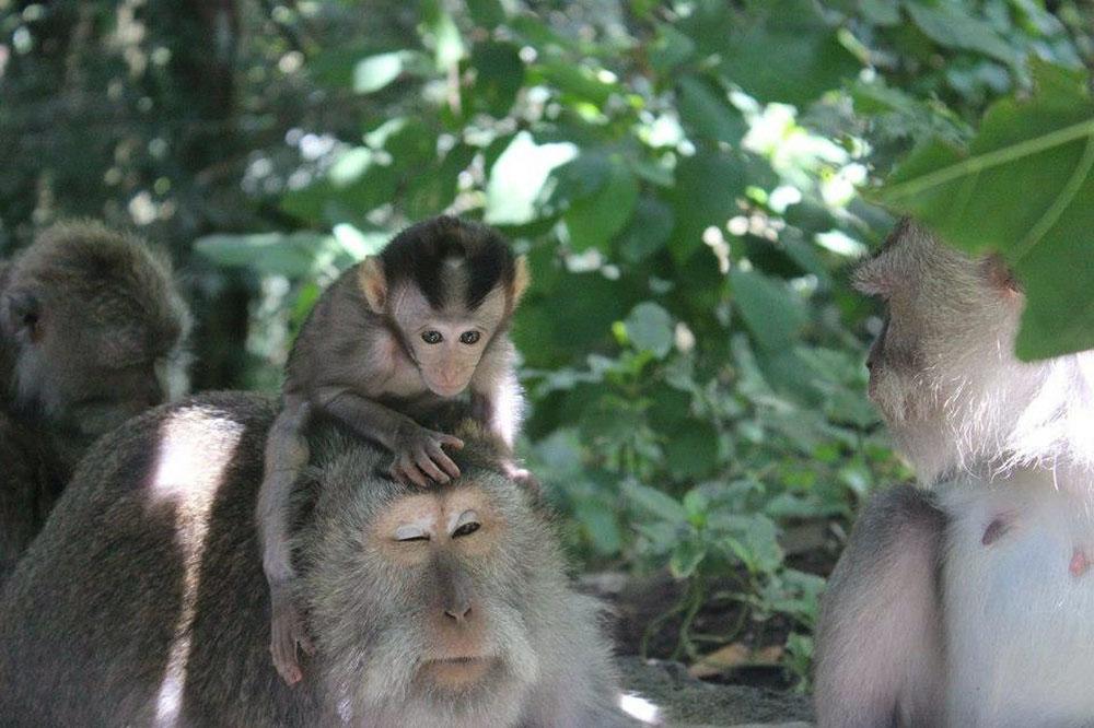 A Little Monkey in Ubud Monkey