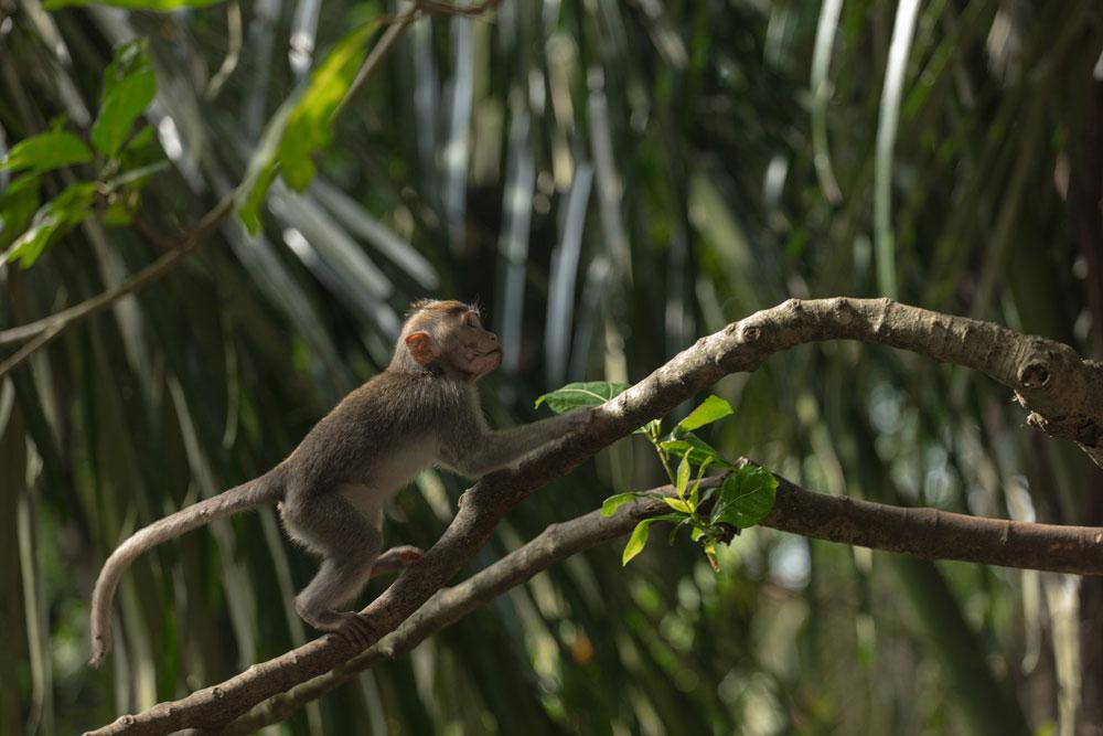 A Nozy Monkey in Ubud Forest